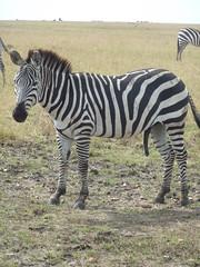 Honeymoon Trip - The Masai Mara (August 2013) (irlLordy) Tags: trip holiday honeymoon kenya august safari zebra masaimara 2013