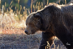Backlit Grizzly (Old Scarface) - 4525b+2 (teagden) Tags: bear old autumn wild fall nature closeup backlight photography nikon wildlife yellowstonenationalpark yellowstone backlit grizzly upclose backlighting ynp scarface naturephotography grizz grizzlies grizzlybear grizzlybears yellowstonepark wildlifephotography yellowstonewildlife jenniferhall jenhall oldscarface backlitgrizzly