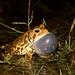 Anaxyrus americanus charlesmithi (Dwarf American Toad)