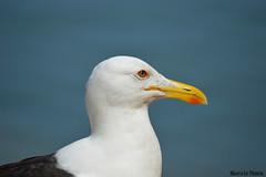 DSC_1751 (Marcelo Plescia) Tags: seagull gull ave gaviota