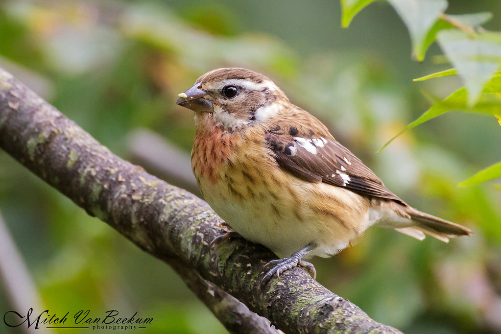 Immature Male Rose-breasted Grosbeak