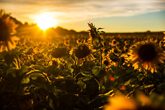Dying Under the Rays of Earth's Yellow Sun [explore 09-24-14] (misterperturbed) Tags: sunflowers harfordcounty jarrettsvillepike hessroad