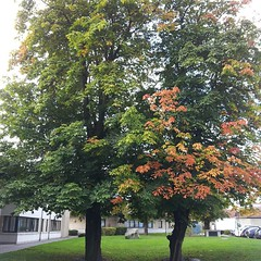 Conker tree (pamelaadam) Tags: autumn tree digital work phonecam square scotland fotolog september aberdeen squareformat 2014 thebiggestgroup iphoneography royalcornhillhospital instagramapp uploaded:by=instagram