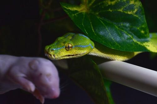 animals tx houston places ferdinand snakes reptiles greentreepython moreliaviridis manokwari chondropython uscb manuallensnocpu stillbrookedr