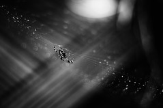 A Web for Wednesday (orbed) Tags: mono spider web gardenspider
