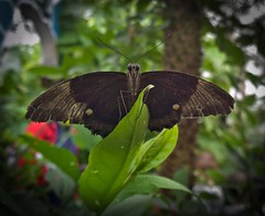 Papilio polytes (common mormon) (Massis__) Tags: london history museum butterfly insect nokia raw natural dng lumia1020