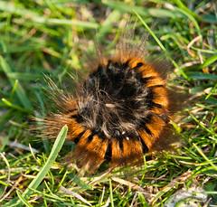 Fox Moth Caterpillar (hutchyp) Tags: moth cliffs caterpillar fox needles isle wight
