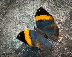 Dead Leaf Butterfly - Open