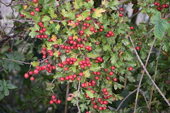 DSC_4625 Hibaldstow Lincolnshire Berries are in abundance this year 2014, does this mean we should expect a bad winter? (photographer695) Tags: bridge winter this berries year bad we lincolnshire mean does should abundance expect 2014 hibaldstow