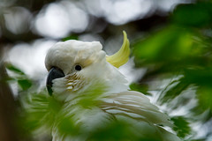 Peek-a-boo (Photo Noir) Tags: sydney parrot newsouthwales cockatoo australianbirds australianwildlife nativewildlife australianbackyard