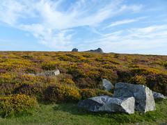 P1010349 (jrcollman) Tags: plants places devon dartmoor haytor ulexgallii eplant ericacinerea haytortohoundtor