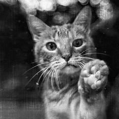blackandwhite bw blur texture monochrome cat square mono paw feline bend bokeh tabby flash grain kitty ears whiskers nik begging manx beseeching flashthecat silverefex lensbabycomposer anneworner sweet50optic