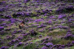 Standing Proud (The Renaissance) Tags: scotland highlands stag heather deer antlers reddeer westerross applecross applecrosspeninsula