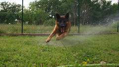 Water game (Marcodeco) Tags: dog chien pet game green wet water colors grass animal tongue garden photo moving paw movement eau image couleurs coat teeth picture jardin canine running olympus run move vert spray whiskers soak ear moustaches chase croc catch germanshepherd poil zuiko waterpipe fang dents snout langue mouvement gardenhose herbe soaking watering jetdeau jeu soaked drenched joyeux hosepipe patte heureux truffe oreilles waterjet museau courir mouill goustan arrosage pelage bergerallemand attraper