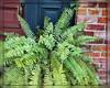 A Fern (I) (gtncats) Tags: plants ferns autofocus aoi topazlabs photographyforrecreation frameitlevel01 canong16 infinitexposure