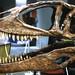 Carcharodontosaurus saharicus theropod dinosaur (Kem Kem beds, Upper Cretaceous;