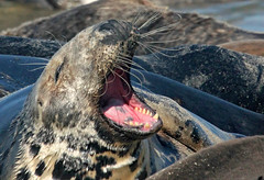 Gray Seal squabbling with others...Off Chatham MA (petertrull) Tags: elements