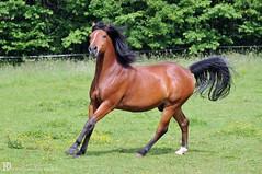 Kairo & Nevada (Dorothee Rie) Tags: horse weide pferd lange schimmel brauner hengst araber galopp stute mhne wallach arabermix imponiergehabe