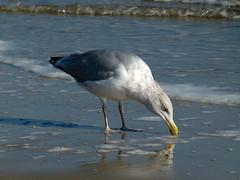 gull (Franziska`s photo art) Tags: gull balticsea