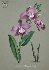 Epistephium williamsii. Collection d'orchidées (aquarelles originales) (1850-1870) [n.a.] (Swallowtail Garden Seeds) Tags: flowers plants orchid illustration vintage garden botanical gardening 19thcentury illustrations pinkflower botany santarosa horticulture purpleflower attribution vintageillustration vintageflowers botanicalillustration vintagegarden gardenillustration flowerillustration orchidillustration 19thcenturyillustration vintagebotanicalillustration epistephium swallowtailgardenseeds vintageplantillustration vintageplants 19thcenturybotanicalillustration 19thcenturyflowerillustration botanicalflowerillustration vintageflowerillustrations botanyillustration