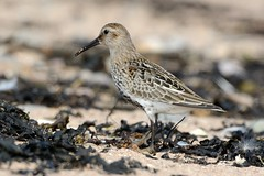 Westhaven Dunlin. (stonefaction) Tags: nature birds scotland angus wildlife dunlin westhaven carnoustie