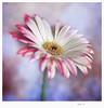 Gerbera III (Agur Al) Tags: naturaleza flower color beauty garden colorful bokeh flor jardin gerbera desenfoque ç d80 agural