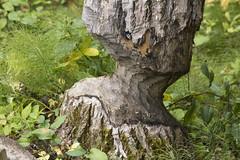 A Beaver's Work (Jim 03) Tags: river jim beaver trail stump 2014 waskesiu jimhoffman princealbertnationalpark jhoffman jim03 wwwflickrcomphotosjhoffman2013 wwwjimahoffmancom wwwflickrcomgroupsparkscanada