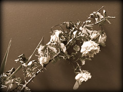 Wilted Roses, Kenmore, WA (teresue) Tags: rose sepia washington wa kenmore 2014 wiltedrose