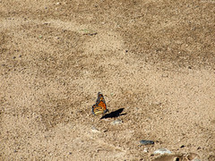 """Monarch Butterfly • <a style=""""font-size:0.8em;"""" href=""""http://www.flickr.com/photos/34843984@N07/15423411445/"""" target=""""_blank"""">View on Flickr</a>"""
