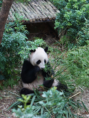 Giant Panda @ River Safari