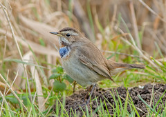 DSC5794  Bluethroat.. (jefflack Wildlife&Nature) Tags: bluetail birds avian animal wildlife wildbirds wetlands thrushes thrush vagrant tundra marshland marshes songbirds countryside nature