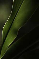 Green leaf (LCPPHOTOGRAPHYY) Tags: leaf plant green nature naturelover naturephotography naturecolletion photooftheday photoshoot photographer picoftheday capture exposure outdoor outdoorphotography concept moment mood moody nikon nikonphotography sunlight light lightandshadow lifeisgood day takingphoto takingpicture bestoftheday best allshots art daily shooting shadowandlight d750 focus shoot simple naturallight natural nice