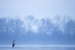 Grey Heron (Daniel Trim) Tags: lake kerkini greece wildlife nature birds grey heron ardea cinerea