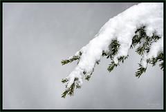 I Got You Covered (jk walser) Tags: d800e jkwalser mtrainiernationalpark paradise reflectionlake snowshoe wa winter snow