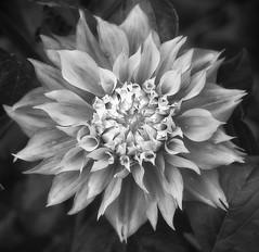 Dahlia 'Koganei Fubuki' (annabelleny Thank you for your many views and comm) Tags: flower blossom floral bud openinggarden dahlia dahliakoganeifubuki' outdooors annjacobsonmonochrome blackandwhite