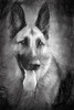 Man's best friend. (Perfectoarts) Tags: dogs alsations germanshepherd creativeedit bw ingriddouglasphotography myartwanders