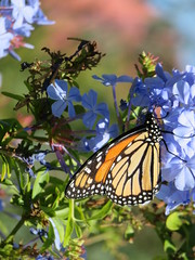 Monarch (Kalmagic !) Tags: western australia plumbago westernaustralia