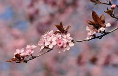 lentepracht (Don Pedro de Carrion de los Condes !) Tags: donpedro d700 dutch fx lente lenteboden lentegevoel boom tak spring bloesem prunus vuurdoorn knoppen bloeien