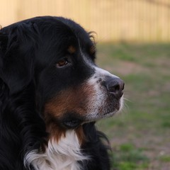 DSCF2895_ (faki_) Tags: fuji fujifilm xe1 fujinonxf1855mmf284rlmois 1855 284 bernesemountaindog bernipásztor bernipásztorkutya sooc ooc provia kutya dog