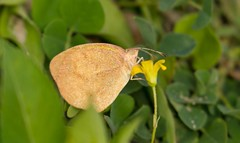 7K8A8824 (rpealit) Tags: scenery wildlife nature orlando wetlands park barred yellow butterfly