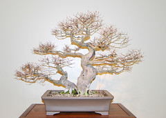 Bonsai, National Arboretum 127501 (thw05) Tags: art bonsai dc nature northamerica penjing people places thwilliamsphotography thomashwilliams thwphotoscom trees usnationalarboretum us usa washington tree plant