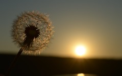 Drying the mane in the heat of the sun (Judit T) Tags: dandelion seeds nature sunlight sundow silhouette shadow