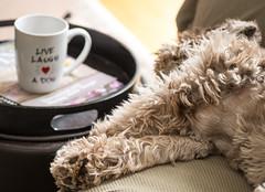 Lazy Saturday (lclower19) Tags: rooney dog canine mug takeaim morning 52in2017 week13 odt animal