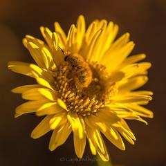 _8102067 (captured by bond) Tags: crownking flower bee arizona