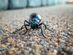 Defense position (zimoch84) Tags: kwidzyn pomorskie poland pl bug black macro huawei cell defense position oleicafioletowa meloeviolaceus meloe oleica violaceus violet oil beetle