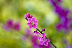 Spring, a season full of energy (christinachui79) Tags: macro flowers outdoor outdoors plants blossoms spring nature bokeh beautiful photography flickr 2017 colourful colours flora cherryblossom depthoffield nikonclub nikond750 springblossoms springflowers