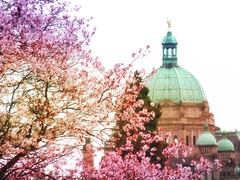 Sakura series (Nick Kenrick..) Tags: sakura blossoms rattenbury legislature victoriabc vancouverisland