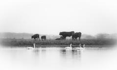 United colors of nature (Ingeborg Ruyken) Tags: 500pxs empel kanaalpark blackandwhite cows dawn dropbox flickr koeien maart march natuurfotografie ochted rodegeuzen sunrise swans swimming winter zonsopkomst zwanen zwartwit zwemmen