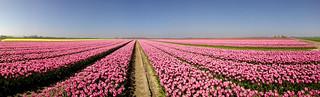 Dutch tulips panorama view