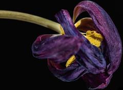 A faded beauty (w.lichtmagie) Tags: makro macro strobist strobistinfo canonefs60mm yongnuo panorama tulpe blume verblüht flower lila schwarz
